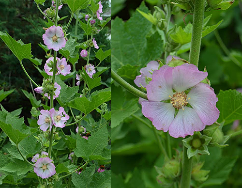 Photos of Kankakee Mallow by Christopher David Benda