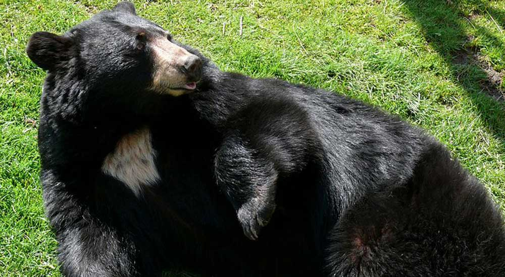 800px-Black_Bear-27527