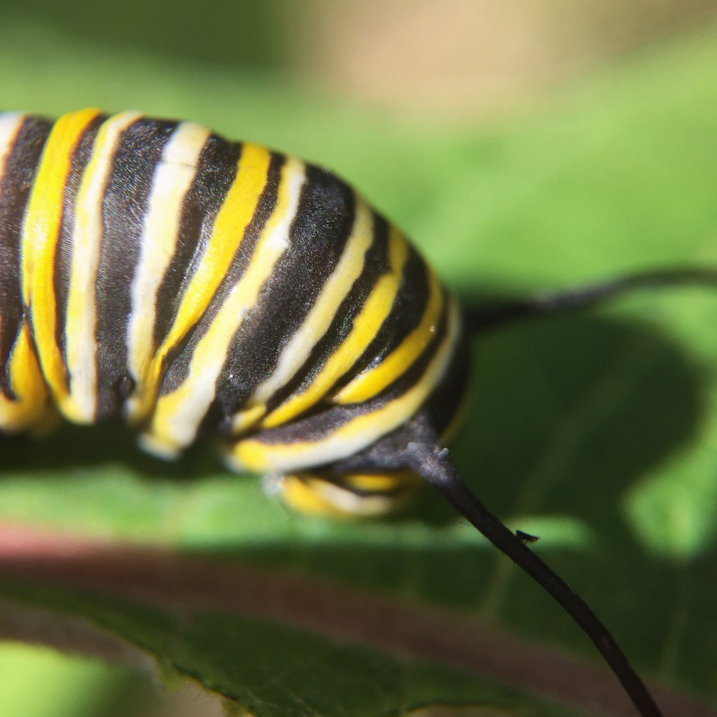 Monarch caterpillar - does it have a tiny tiny creature on its antenna?