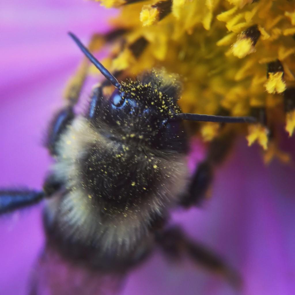 This bumblebee is all coked up on pollen.