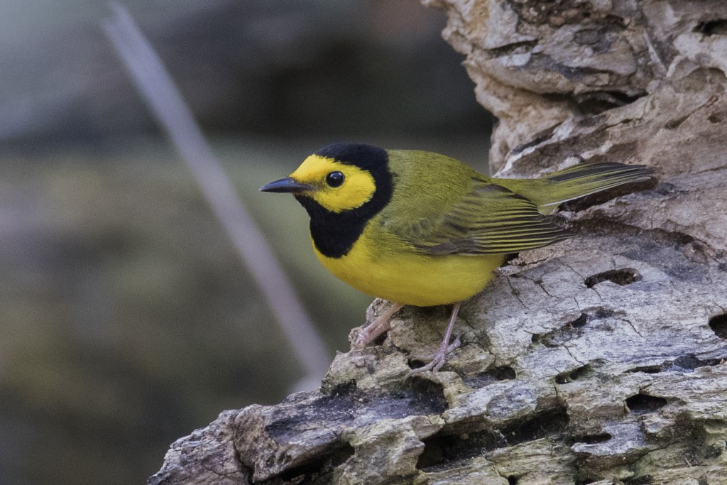 Hooded Warbler by Jerry Goldner
