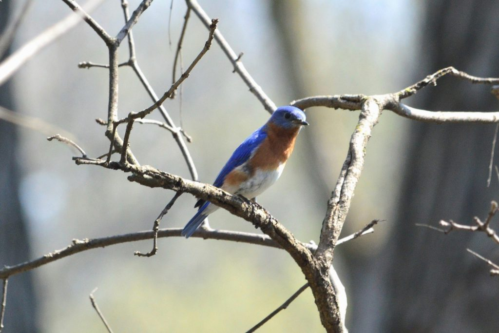 Eastern Bluebird Mark Kluge